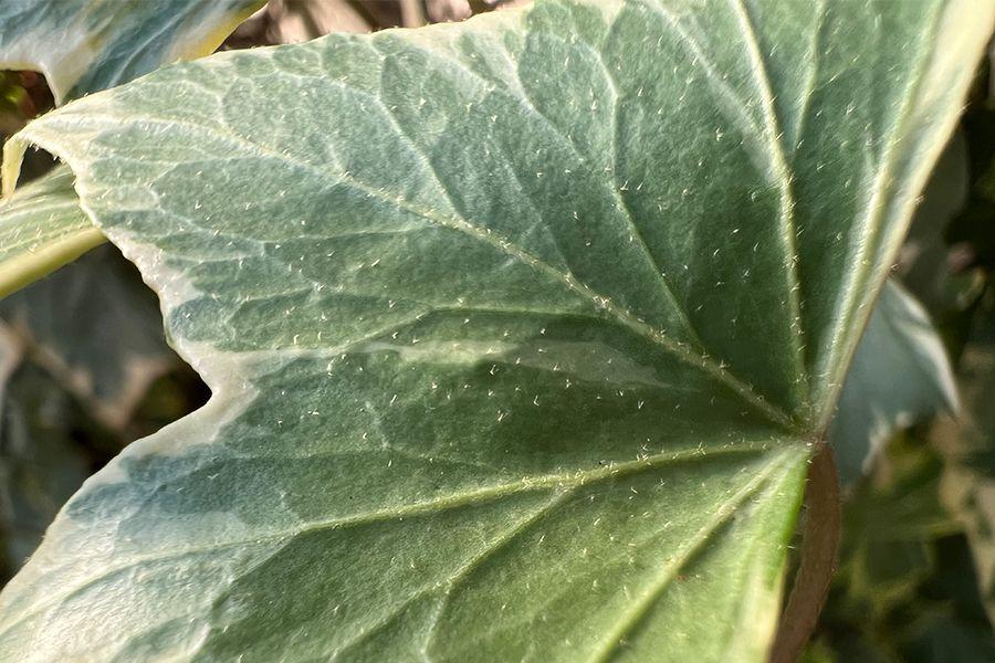 iPhone 13 Proで撮影した葉っぱ